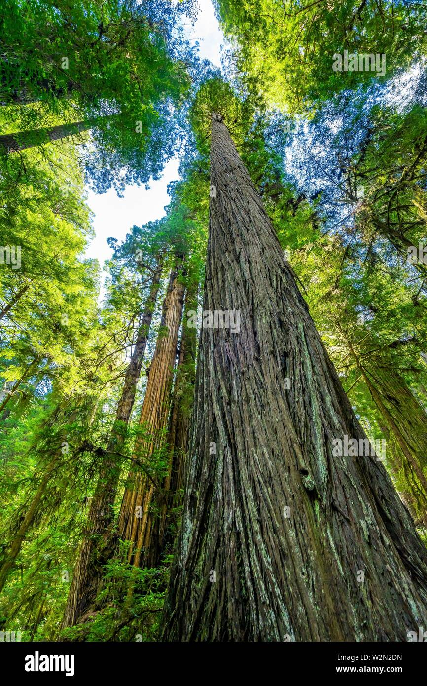 Green Towering Redwoods National Park Newton B Drury Drive Crescent City California. Tallest trees in World, 1000s of year old, size large buildings. - Stock Image