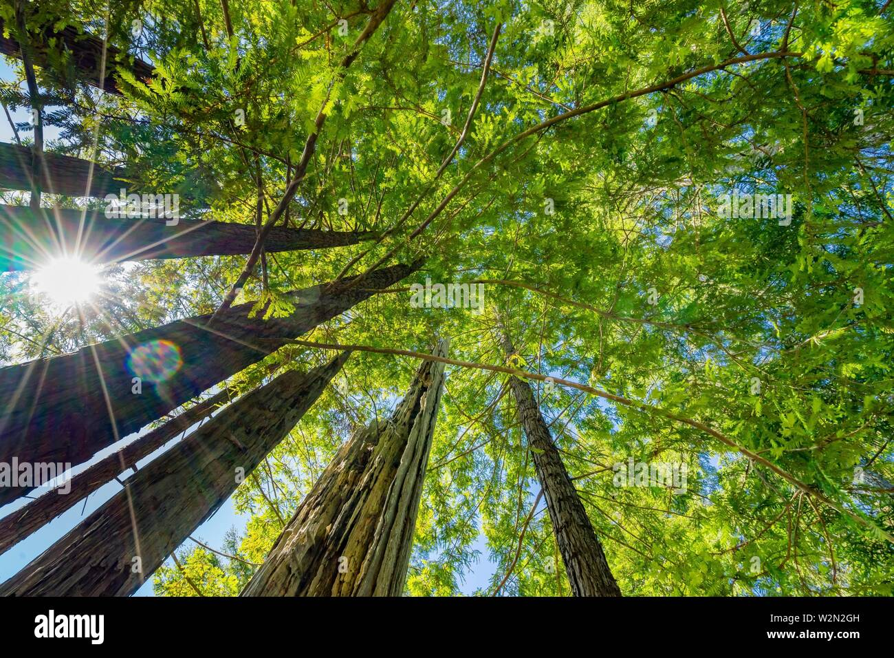 Sun Star Rays Green Towering Redwoods National Park Newton B Drury Drive Crescent City California. Tallest trees in World, 1000s of year old, size - Stock Image