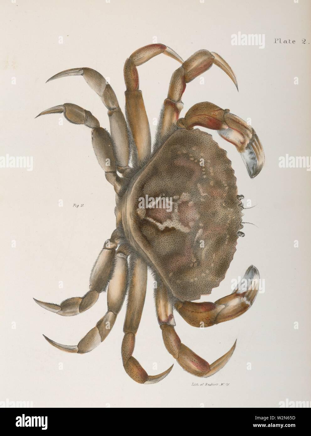 Crustacea 2. Platycarcinus irroratus. De Kay, James E. (James Ellsworth), 1792-1851 (Author). Zoology of New York: or, The New York fauna. Date Stock Photo