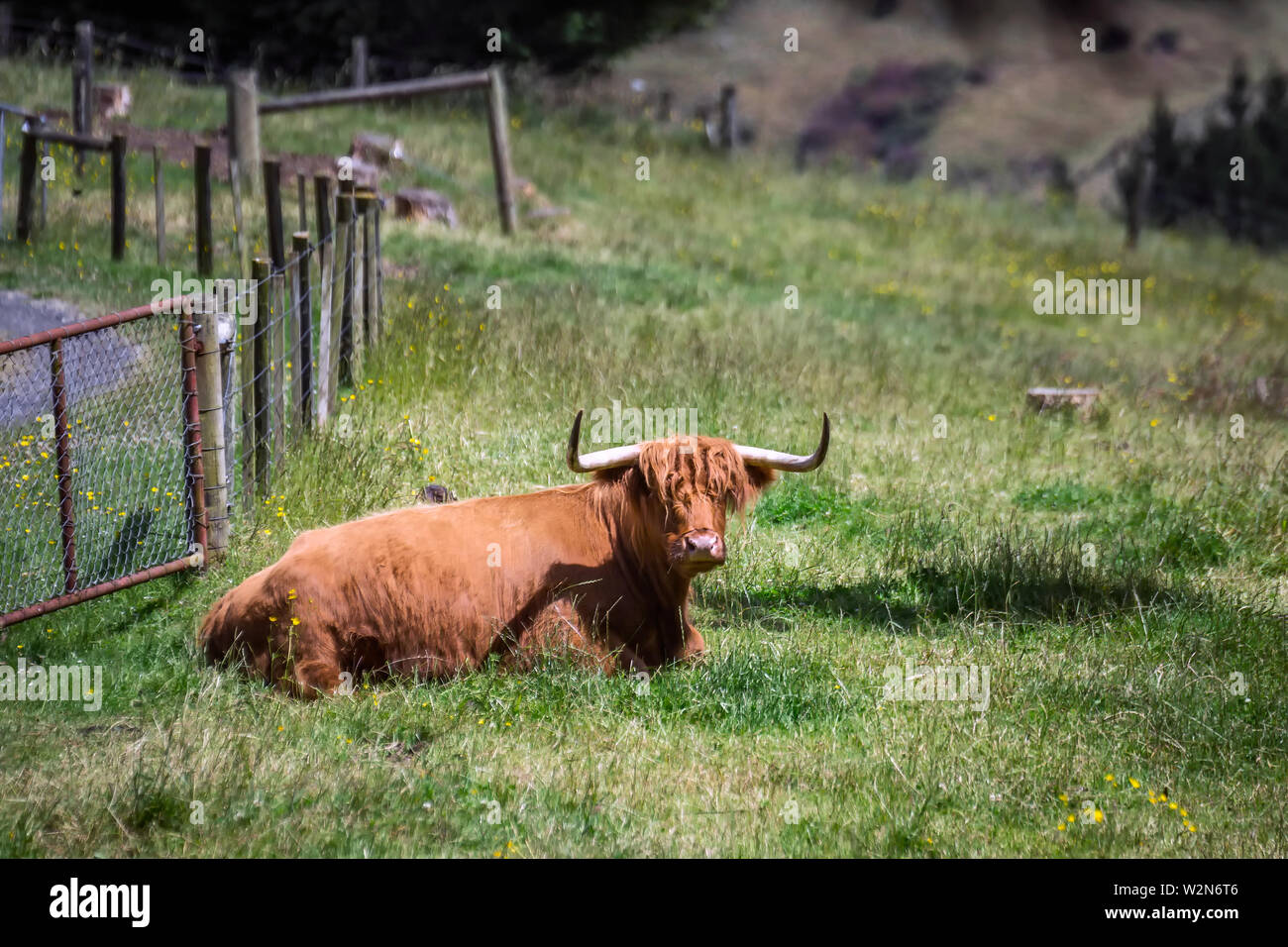Scottish cow in a green meadow in the background in the Southern Scenic Route, New Zealand. - Stock Image