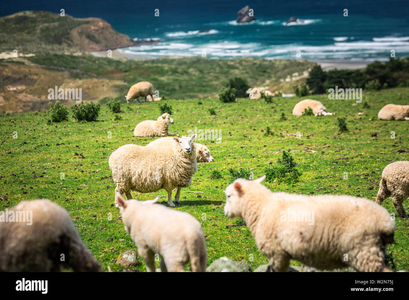 Sheep in a green meadow and stormy ocean in the background in the Southern Scenic Route, New Zealand. - Stock Image