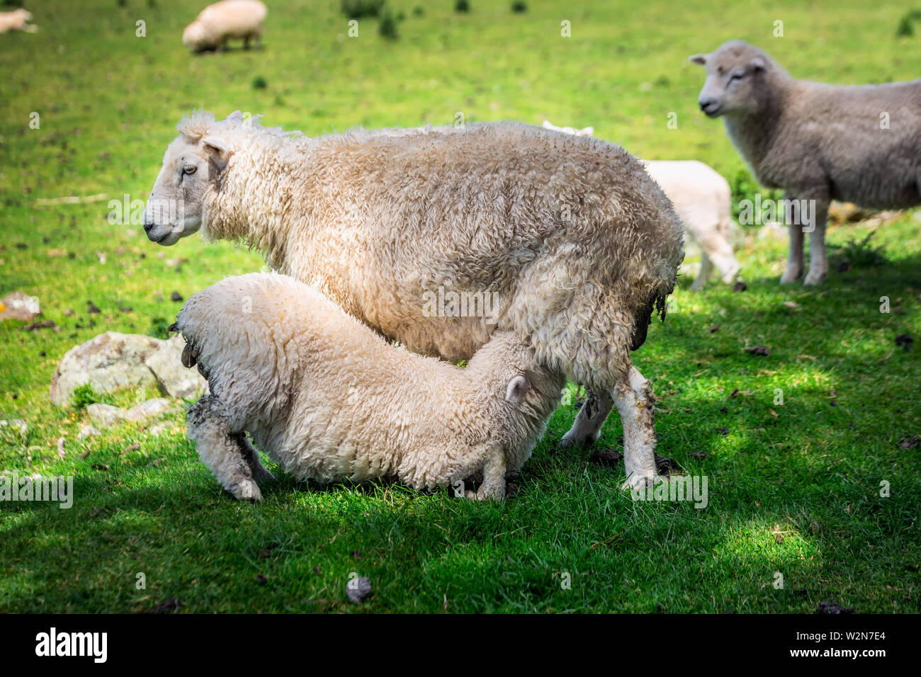Sheep drinking milk in a green meadow near Dunedin Southern Scenic Route, New Zealand. - Stock Image