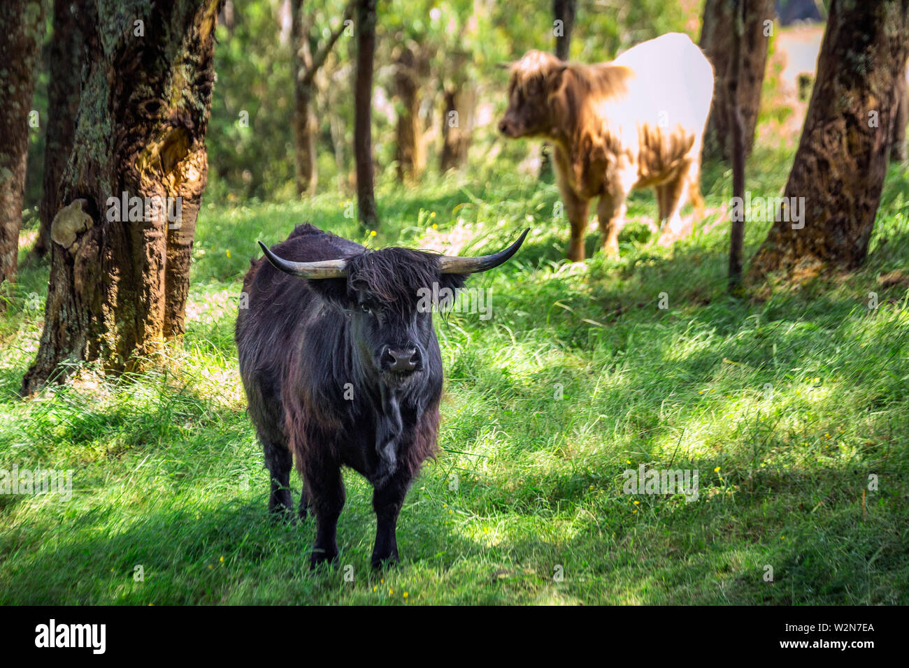 Scottish cow in a green meadow and forest in the background in the Southern Scenic Route, New Zealand. - Stock Image