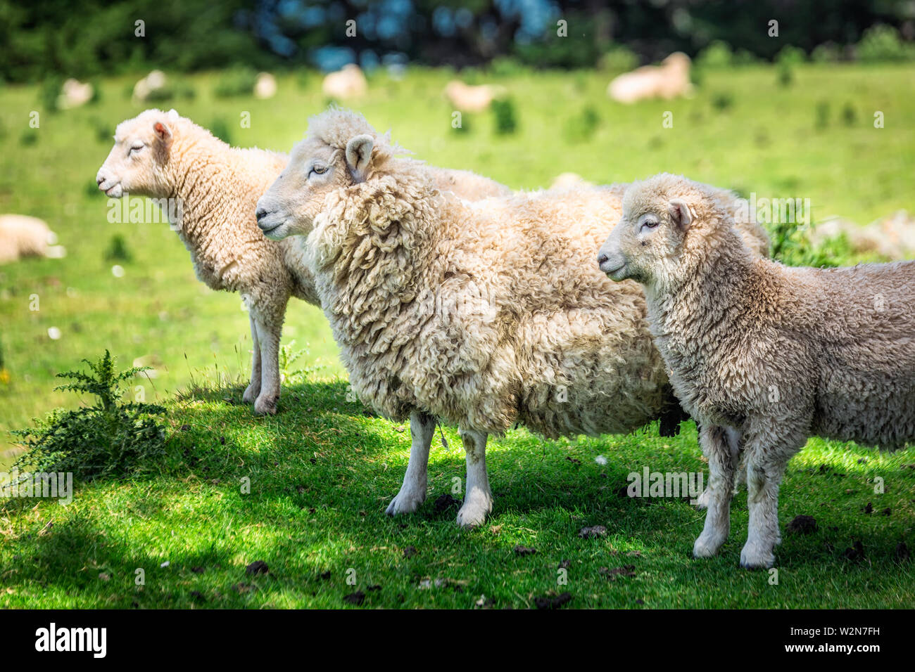 Sheep in a green meadow near Dunedin Southern Scenic Route, New Zealand. - Stock Image