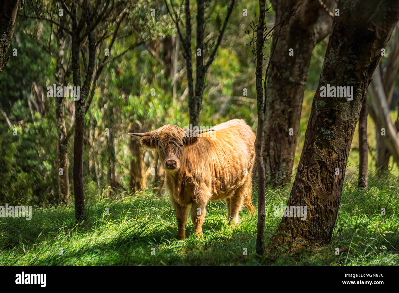 Scottish cow in a green meadow forest in the background in the Southern Scenic Route, New Zealand. - Stock Image