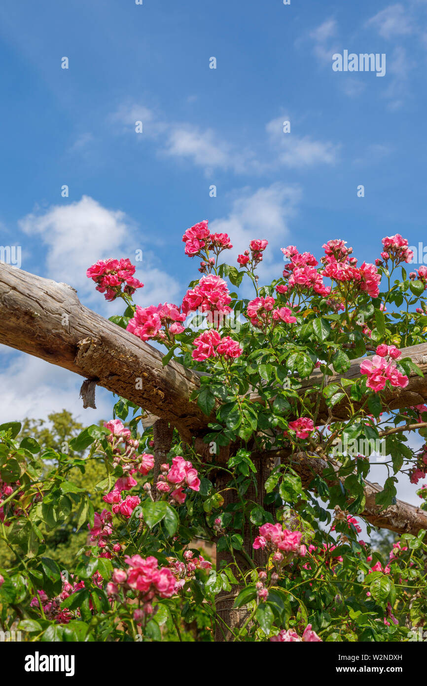 Pretty pink 'American pillar' roses climbing on a wooden pergola flowering against a blue sky on a summer day, Surrey, south-east England - Stock Image