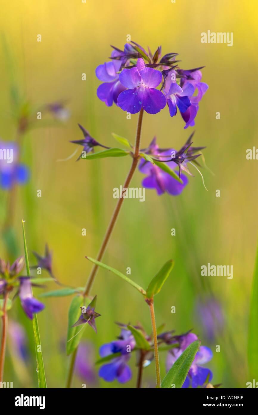 Blue-eyed Mary (Collinsia grandiflora), Camassia Natural Area, West Linn, Oregon. - Stock Image