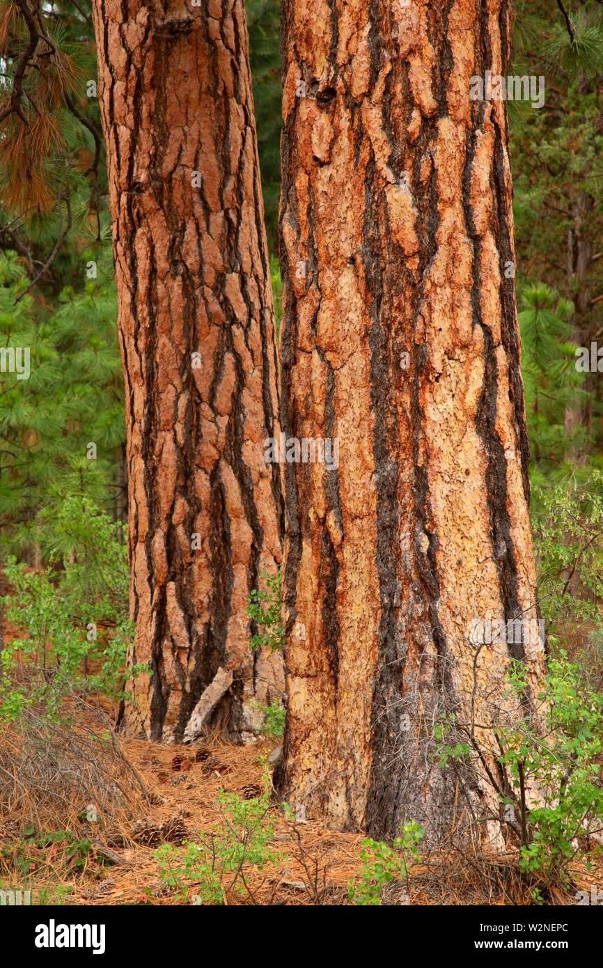 Ponderosa pine (Pinus ponderosa), Sawyer Park, Bend, Oregon. - Stock Image