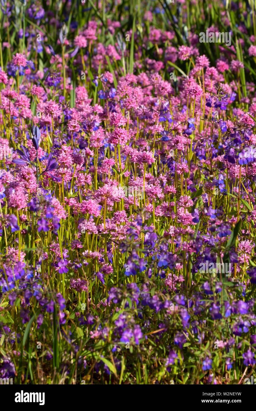 Blue-eyed Mary (Collinsia grandiflora) and rosy plectritis (Plectritis congesta), Camassia Natural Area, West Linn, Oregon. - Stock Image