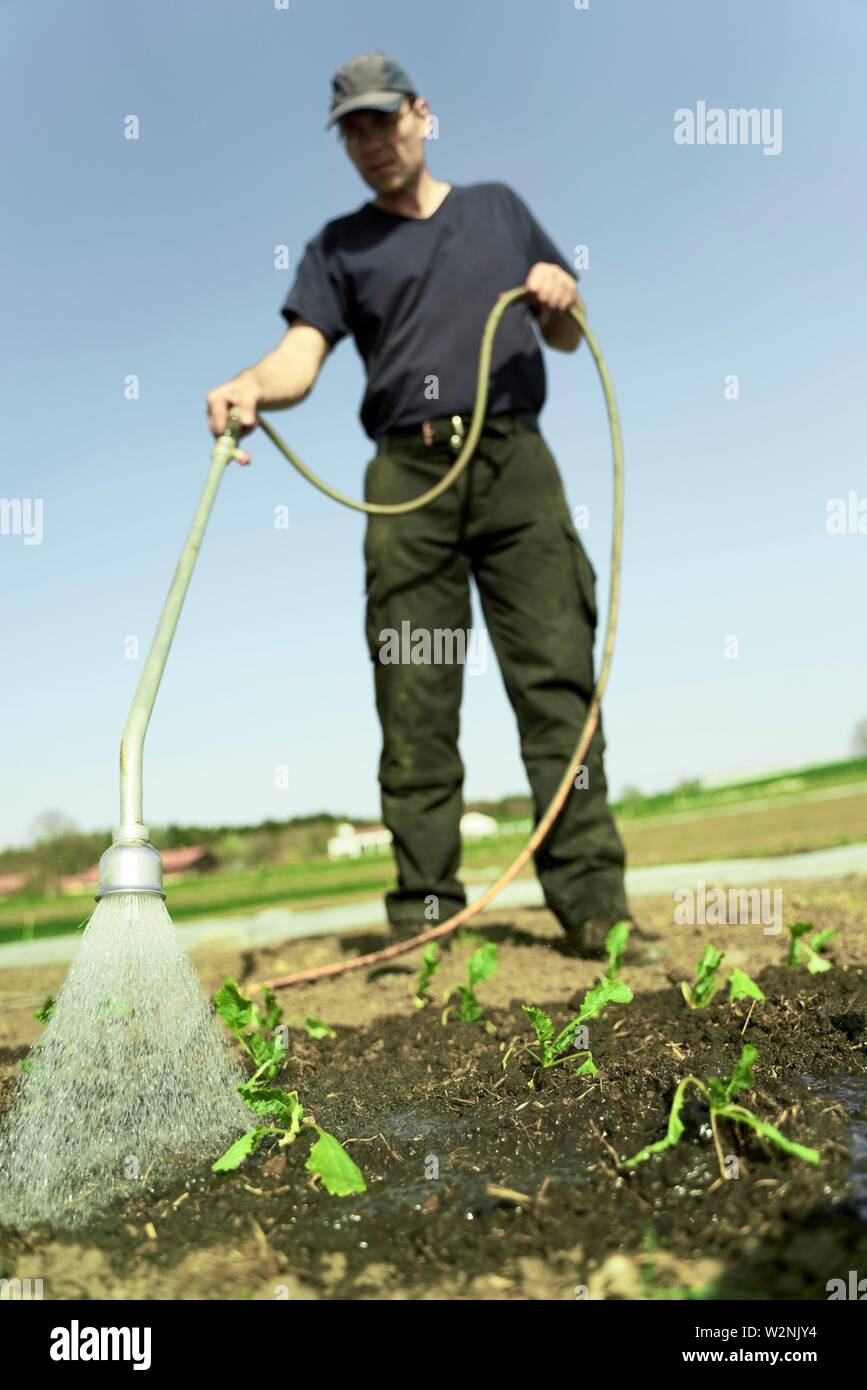 farmer watering young plants with hosepipe nozzle on field, in Bavaria, Germany Stock Photo