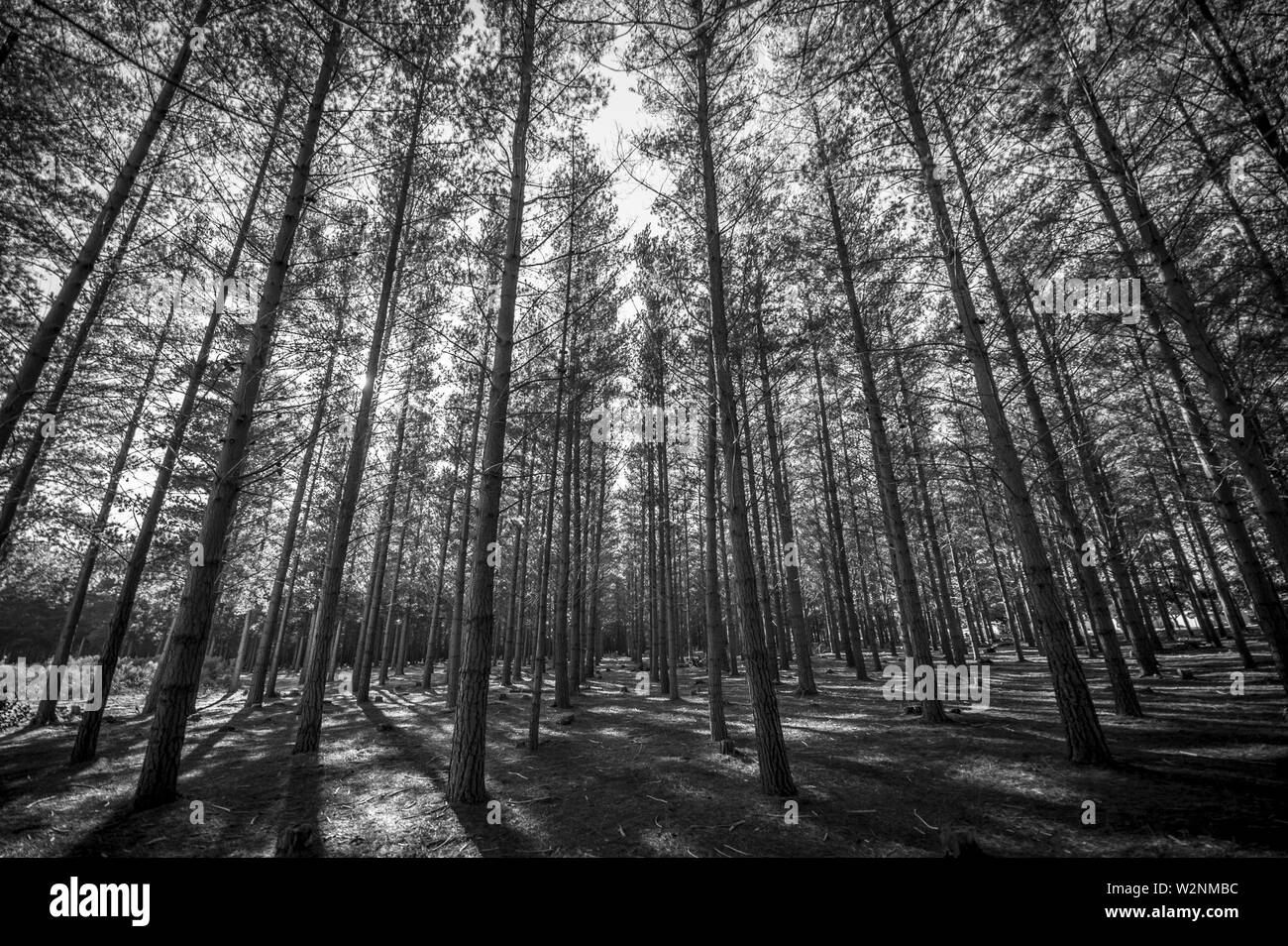 Pine ytree plantation. Shady forest. - Stock Image