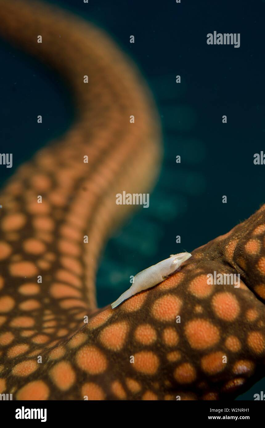Rounded Sea Star Shrimp (Zenopontonia noverca, Palaemonidae family) on Brown Mesh Sea Star (Nardoa galatheae, Ophidiasteridae family) with tube feet - Stock Image