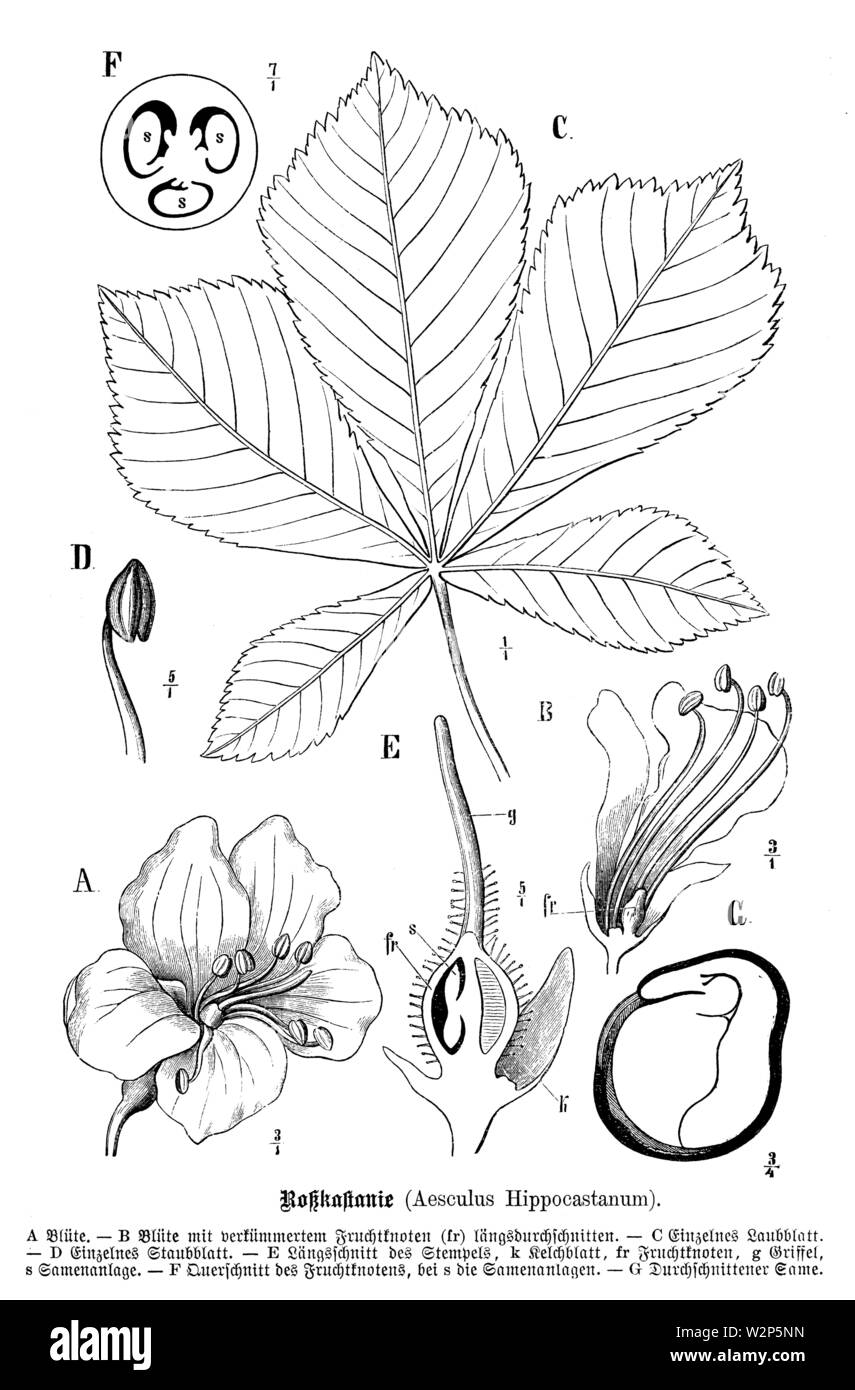 horse-chestnut, conker tree (Aesculus hippocastanum), Aesculus hippocastanum, anonym (, ) - Stock Image