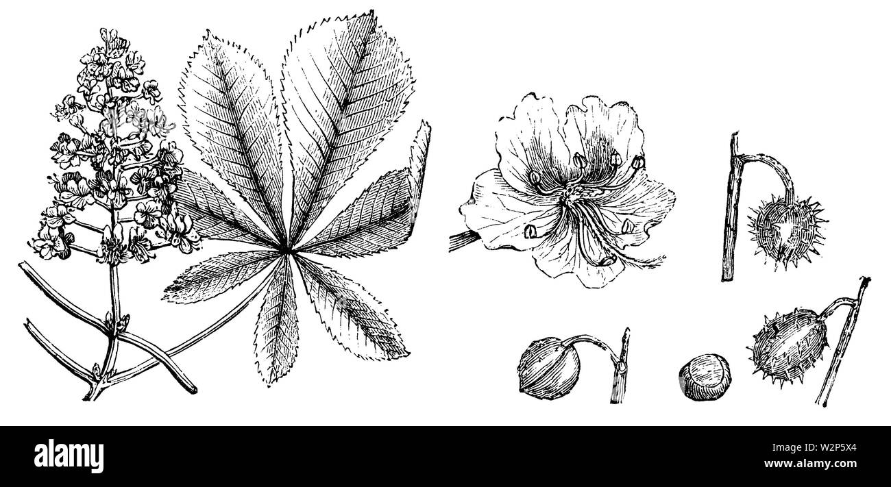 horse-chestnut, conker tree (Aesculus hippocastanum), Aesculus hippocastanum,  (garden book, 1877) - Stock Image