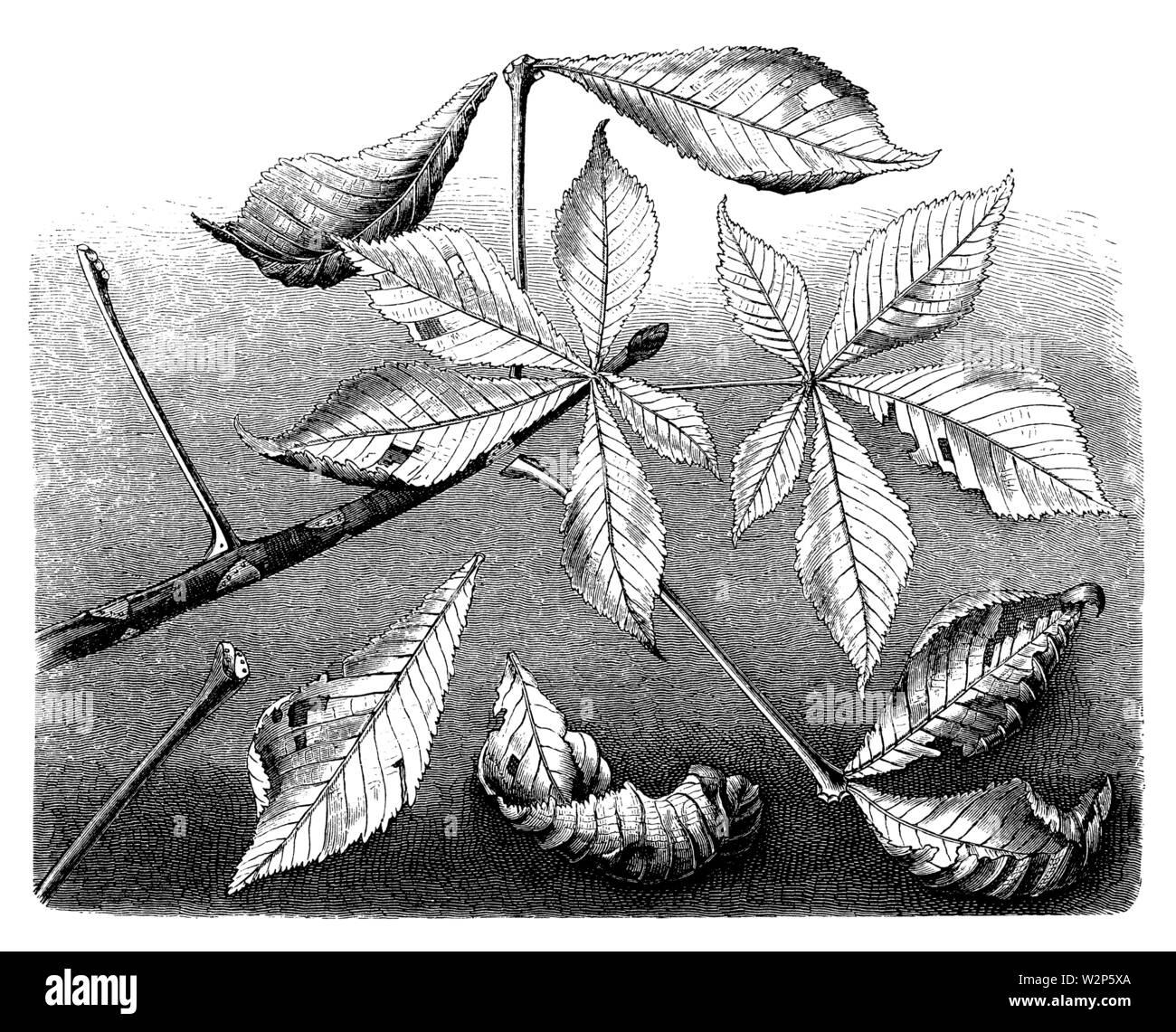 horse-chestnut, conker tree (Aesculus hippocastanum), Aesculus hippocastanum,  (botany book, 1888) - Stock Image