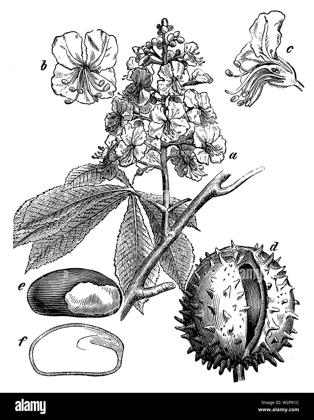 horse-chestnut, conker tree (Aesculus hippocastanum), Aesculus hippocastanum,  (botany book, 1898) - Stock Image