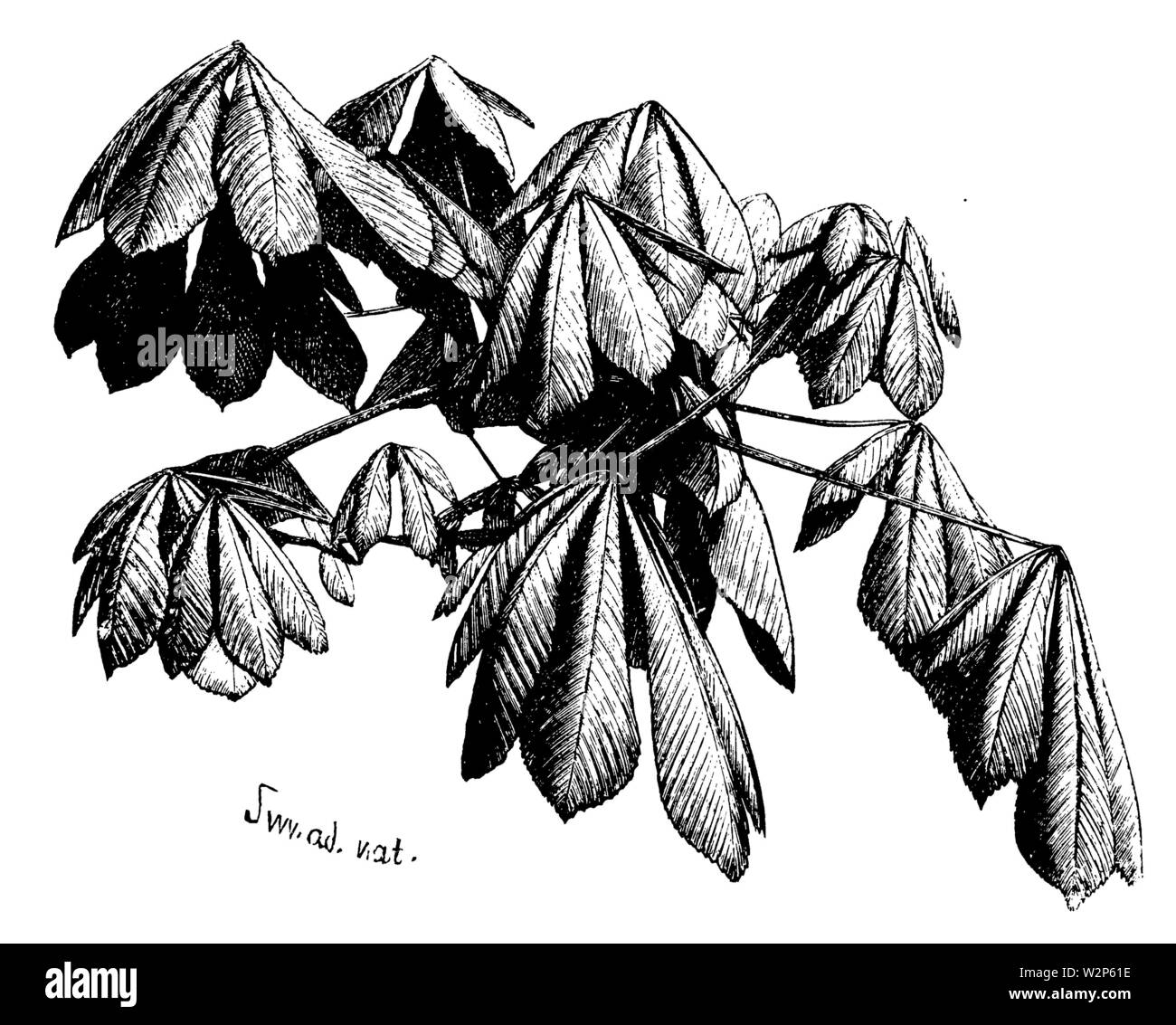 horse-chestnut, conker tree (Aesculus hippocastanum), leaves, Aesculus hippocastanum, S M (botany book, 1902) - Stock Image
