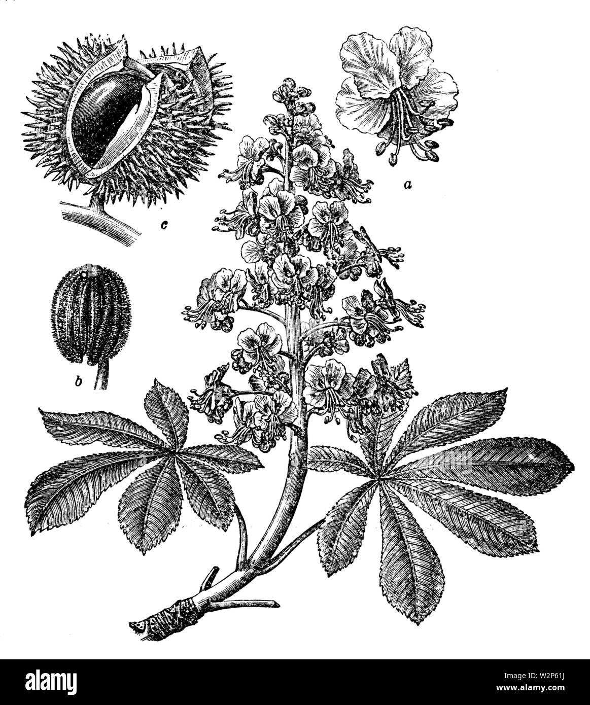 horse-chestnut, conker tree (Aesculus hippocastanum), Aesculus hippocastanum,  (, ) - Stock Image