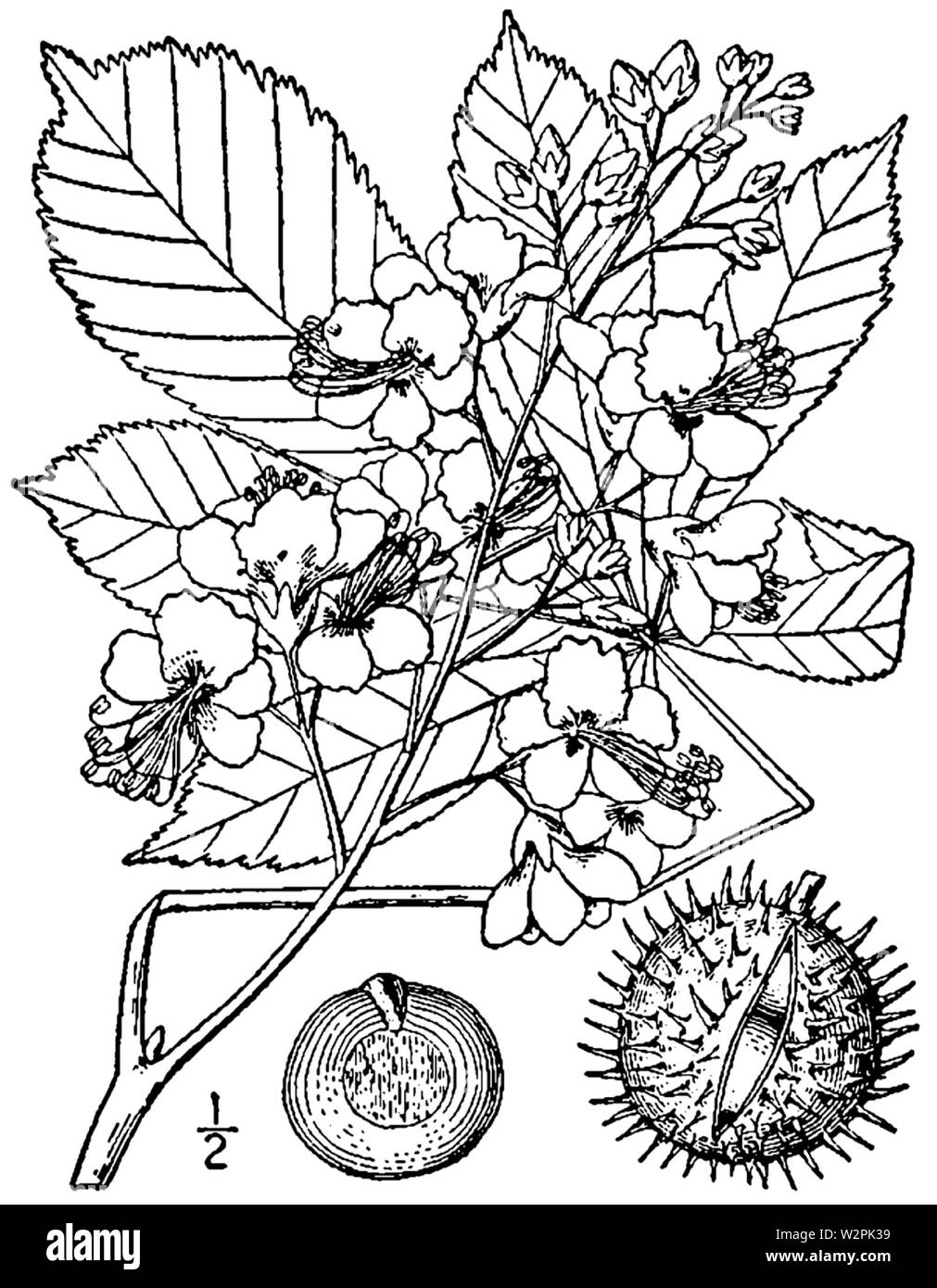 Aesculus hippocastanum drawing - Stock Image