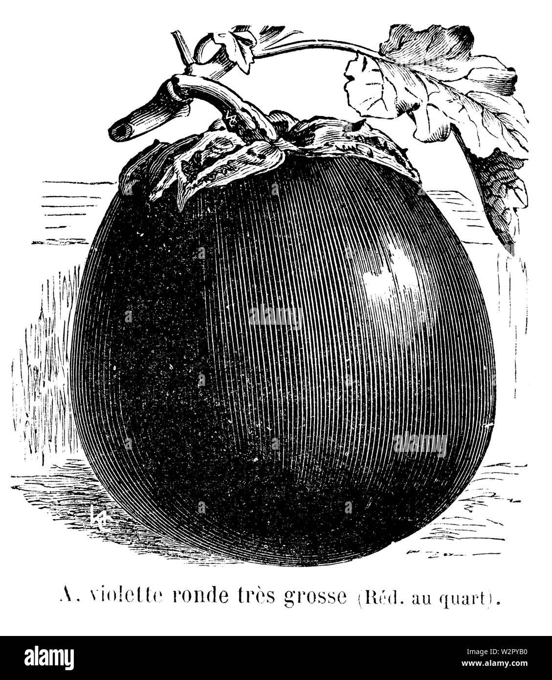 Aubergine violette ronde très grosse Vilmorin-Andrieux 1904 - Stock Image