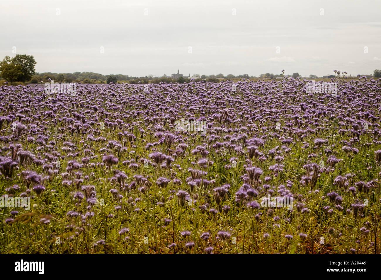 Purple Tansy - Stock Image
