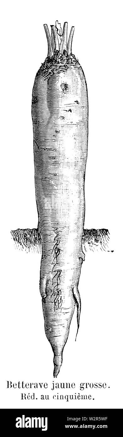 Betterave jaune grosse Vilmorin-Andrieux 1904 - Stock Image