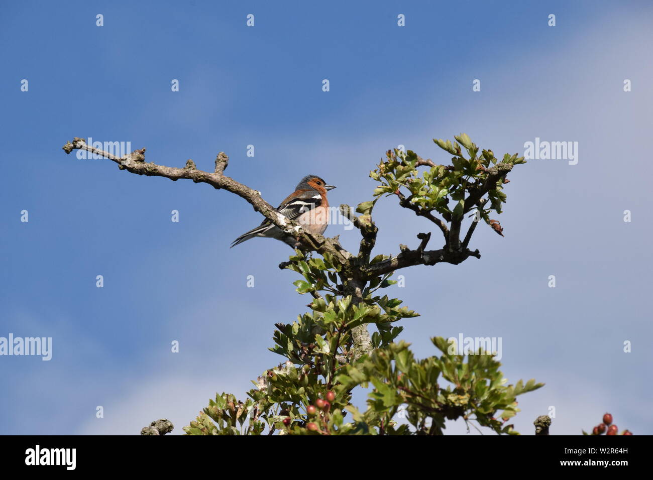 Chaffinch sitting at top of Hawthorn tree - Stock Image