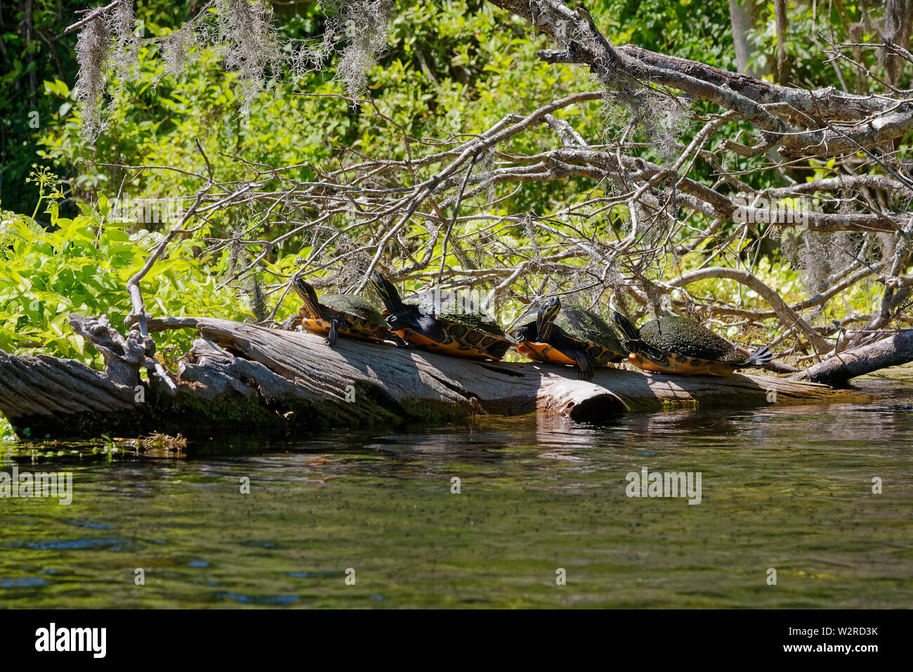 4 turtles on log; Florida Redbelly Cooters, sunning; wildlife; nature, water, tree branches, vegetation, Pseudemys nelsoni, Silver Springs State Park, - Stock Image