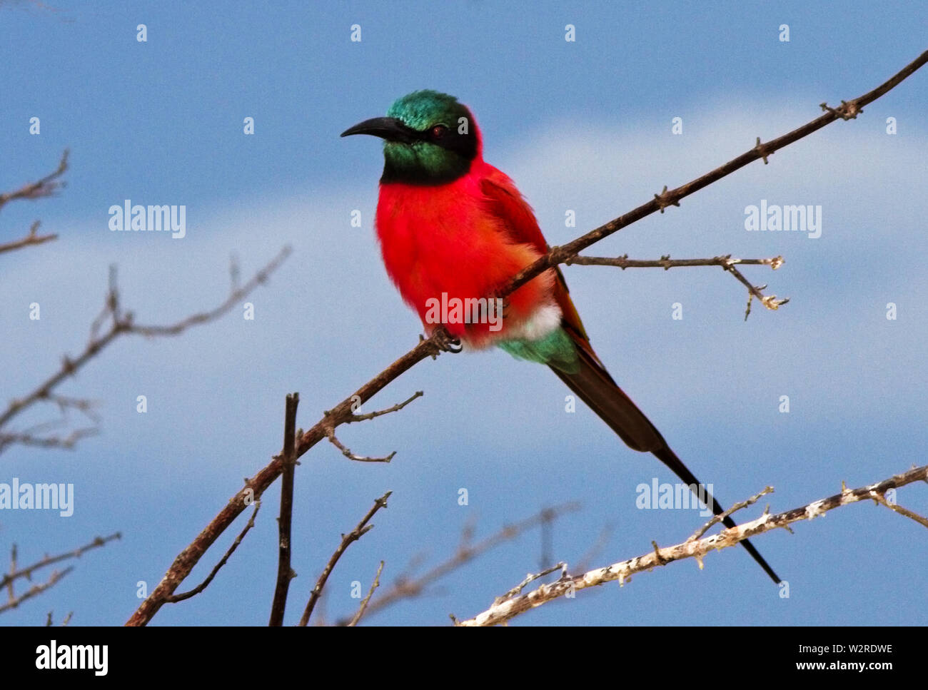 The spectacle of these brightly coloured migratory birds brightens even the dullest day. Flocks of Northen Carmine Bee-Eaters follow the rains - Stock Image
