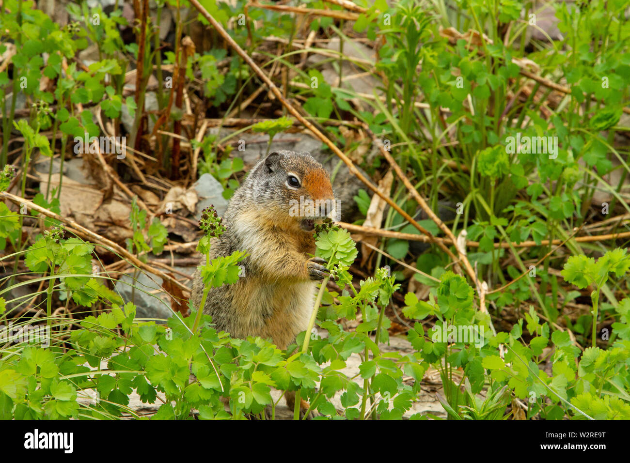 Columbian ground squirrel (Urocitellus columbianus) feeding on vegetation, the Highline Trail, Glacier National Park, Montana, Rocky Mountains, USA. Stock Photo