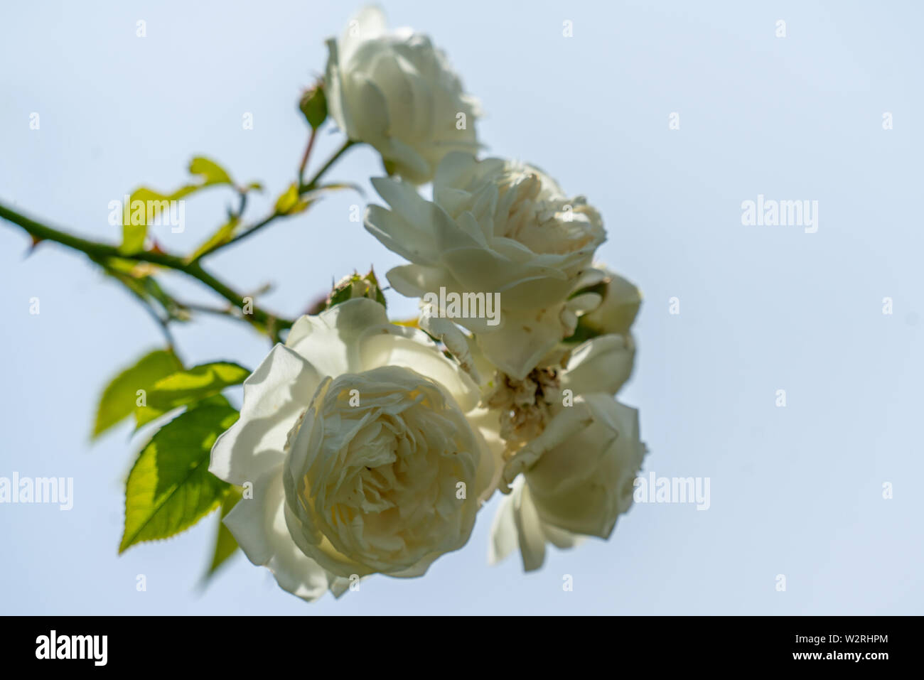colourful close up of a bunch of white direktor benschop rambler rose heads with bokeh background and detailed petals - Stock Image