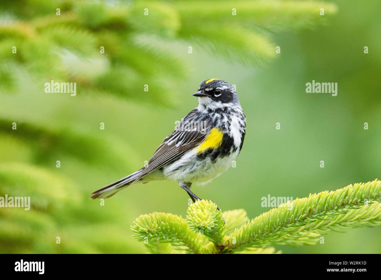 yellow-rumped warbler, Setophaga coronata, male on tree in spring, Nova Scotia, Canada Stock Photo