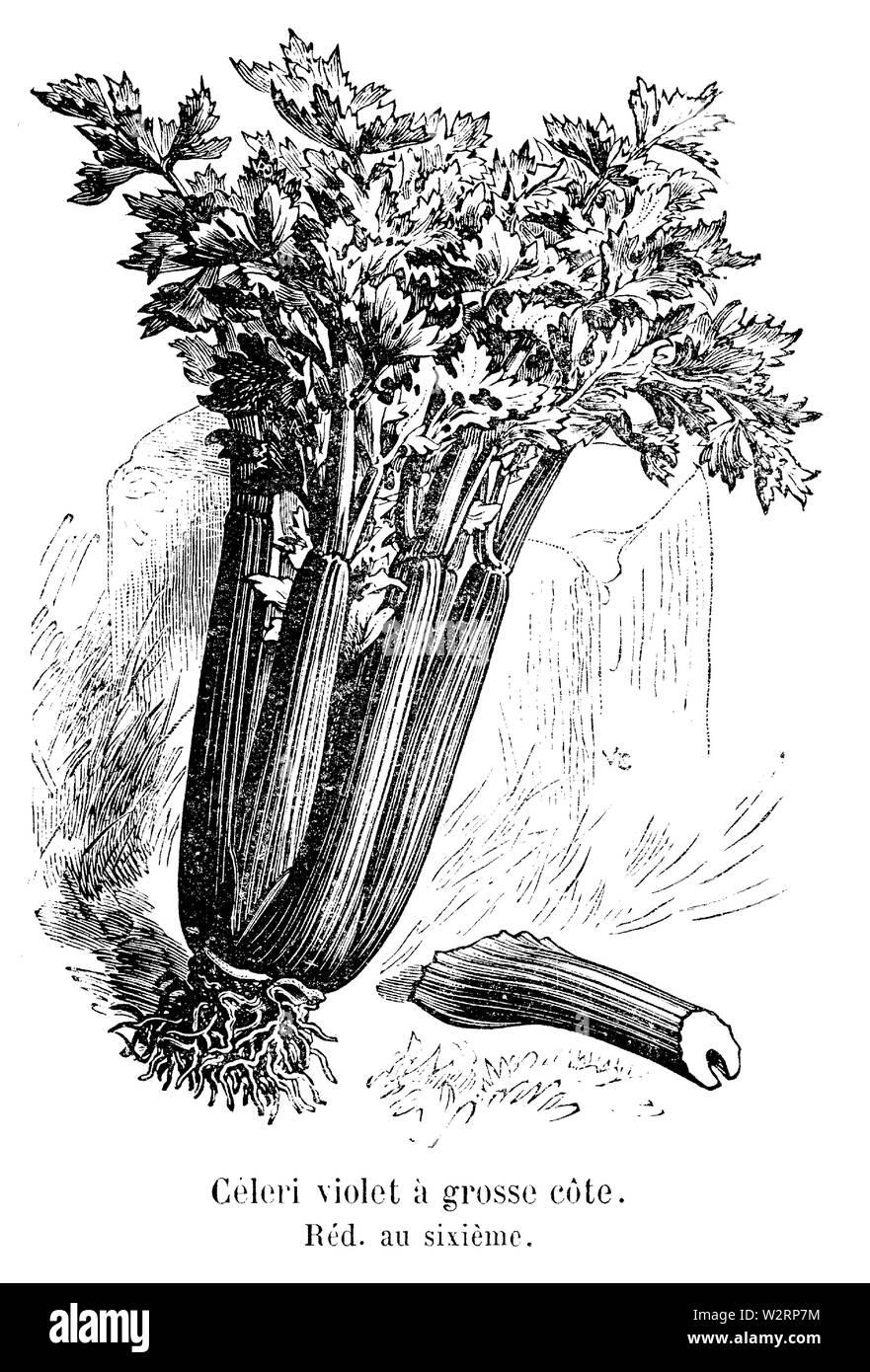 Céleri violet à grosse côte Vilmorin-Andrieux 1904 - Stock Image