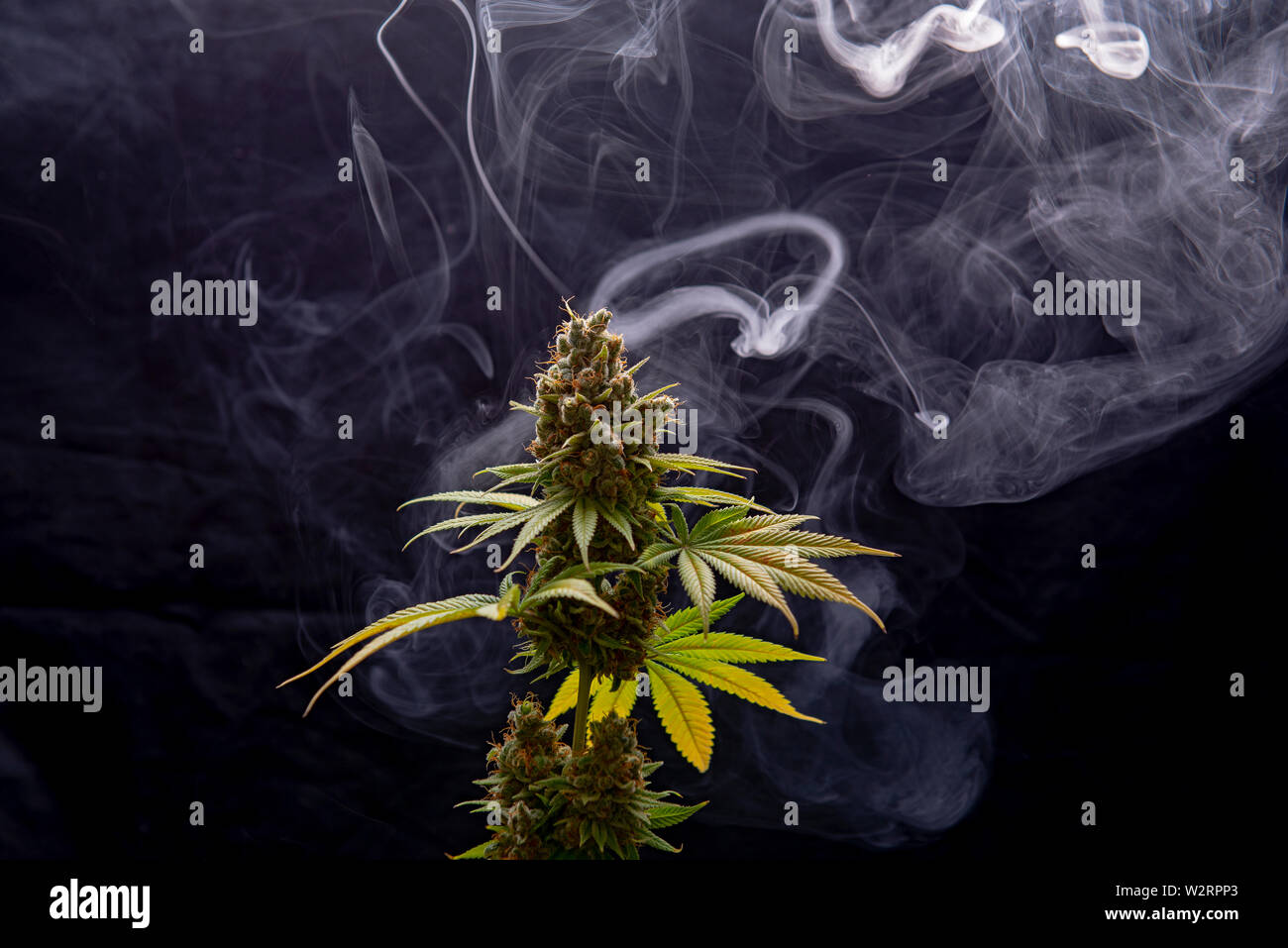 Cannabis plant in full bloom with smoke isolated over black background, medical marijuana concept Stock Photo