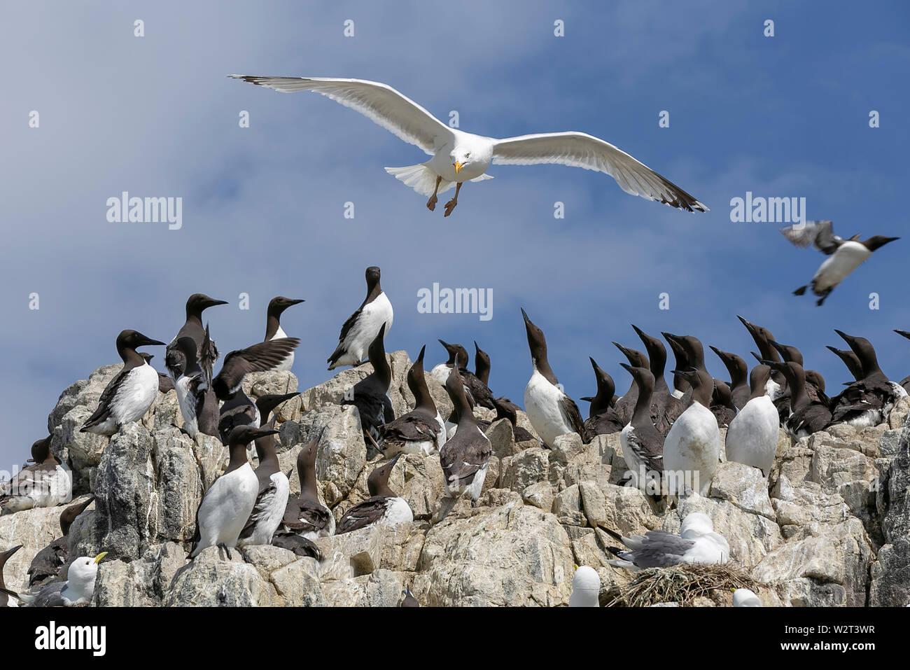 Sea birds in the Farne Islands, Northumberland, UK Stock Photo