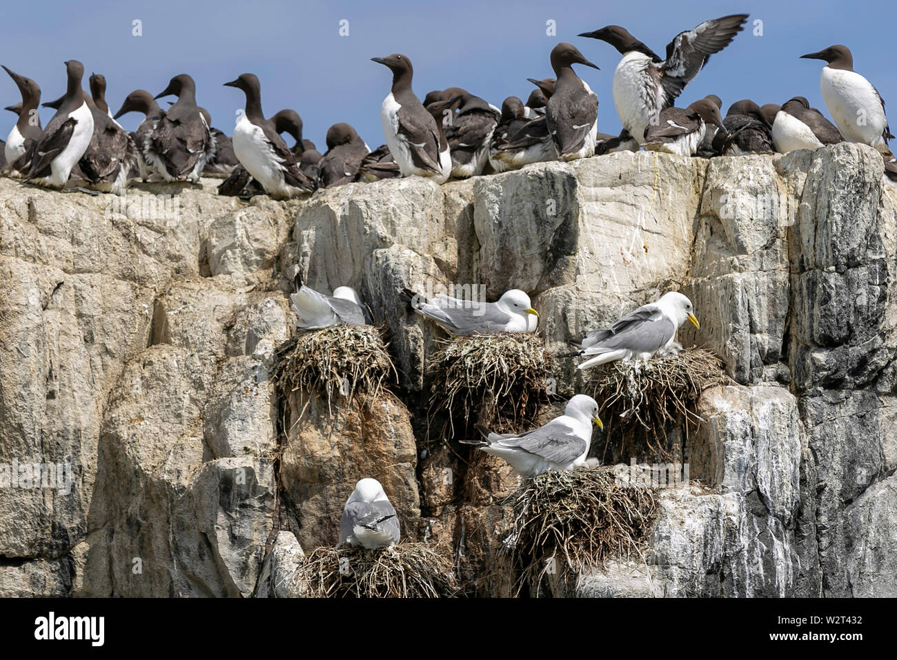 Sea birds in the Farne Islands, Northumberland, UK Stock Photo