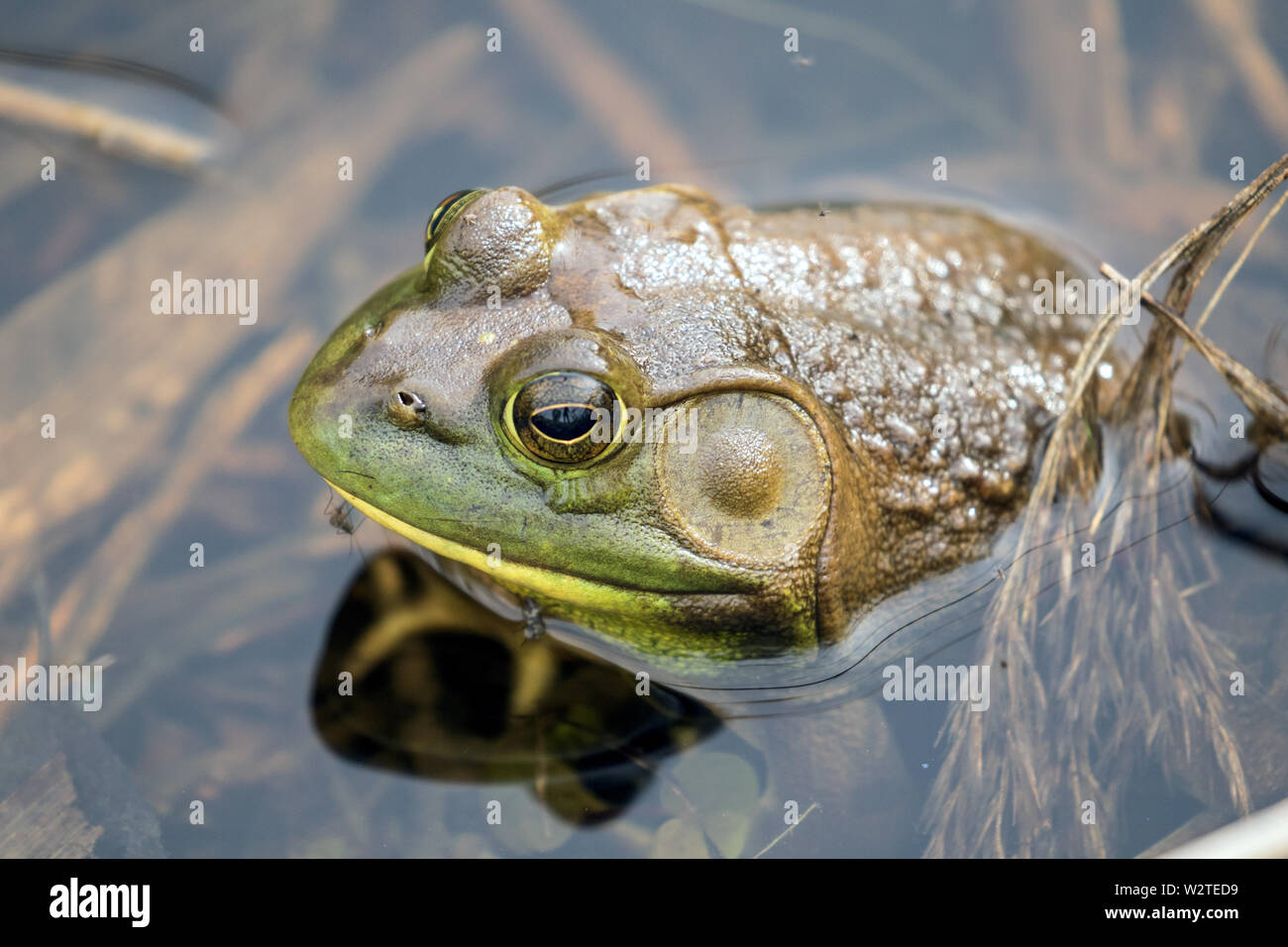 Closeup of male American Bullfrog in pond,Ontario,Canada.Scientific name of this frog is Lithobates catesbeianus. Stock Photo