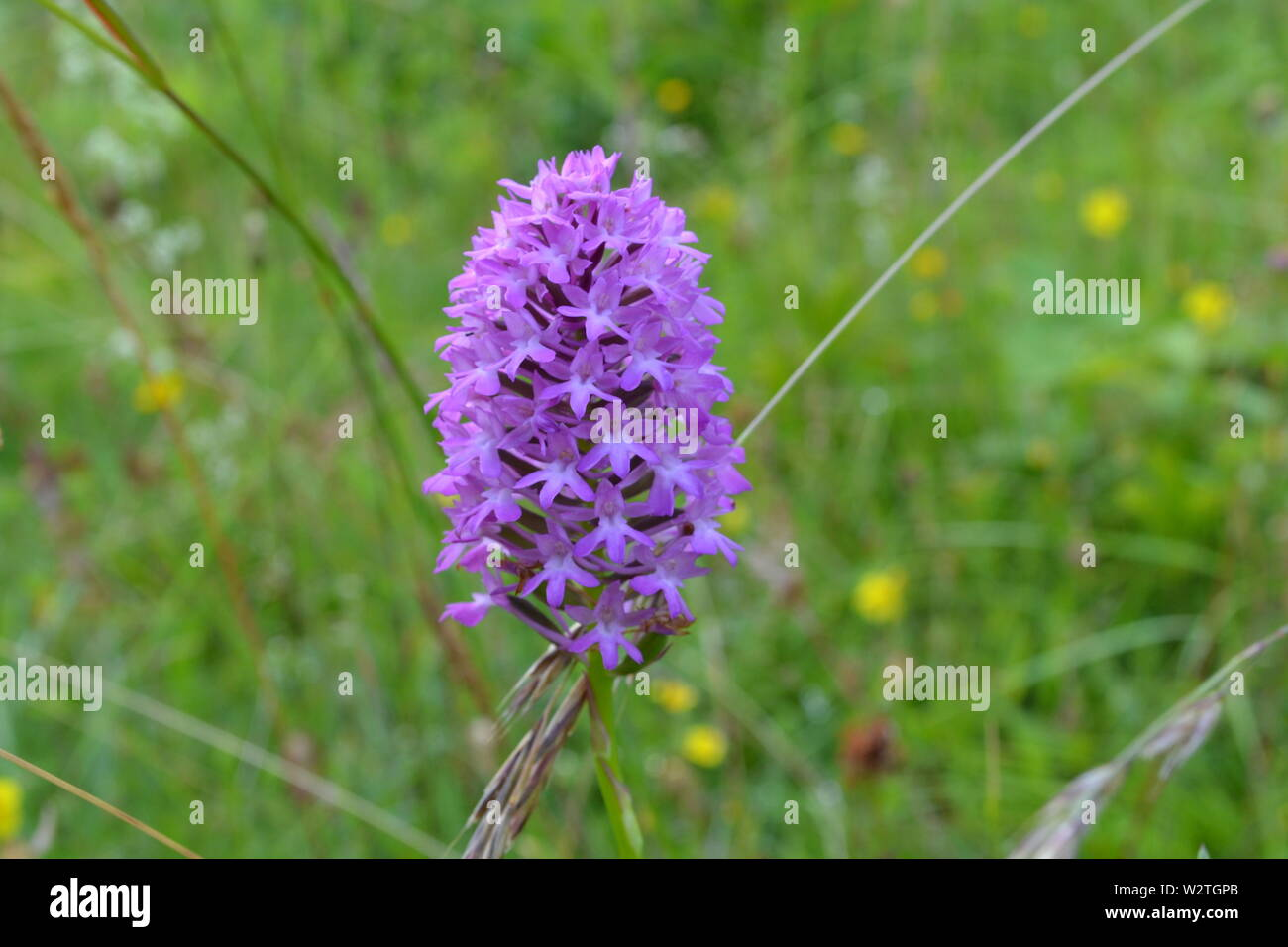 Pyramidal orchid (Anacamptis pyramidalis) wildflowers at Downe Bank, north west Kent, where Charles Darwin, who lived nearby, used to study plants - Stock Image