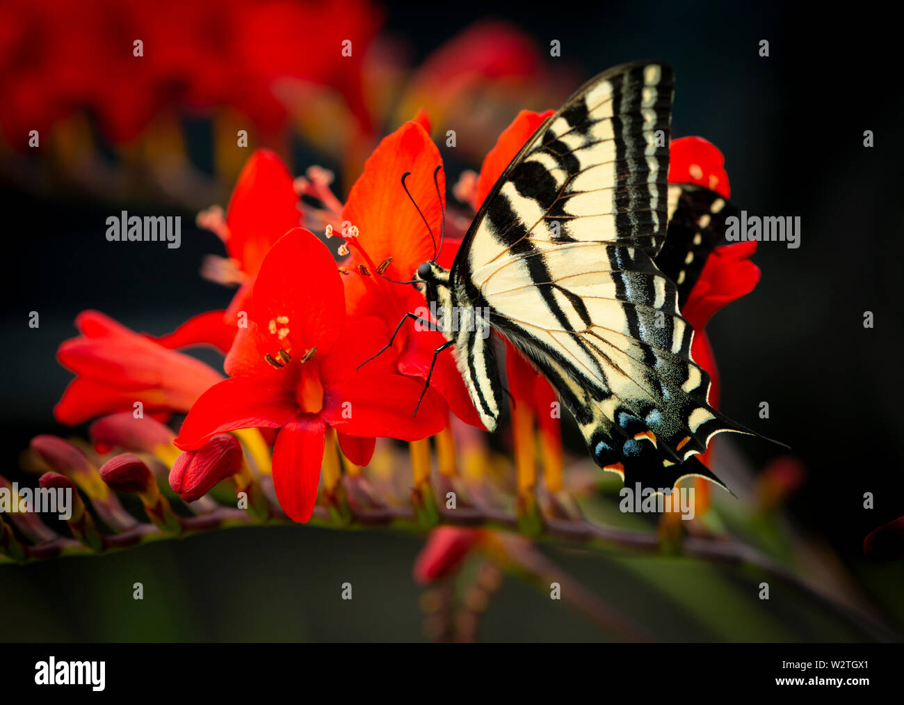 Western Tiger Swallowtail (Papilio rutulus) on a red lucifer flower Stock Photo