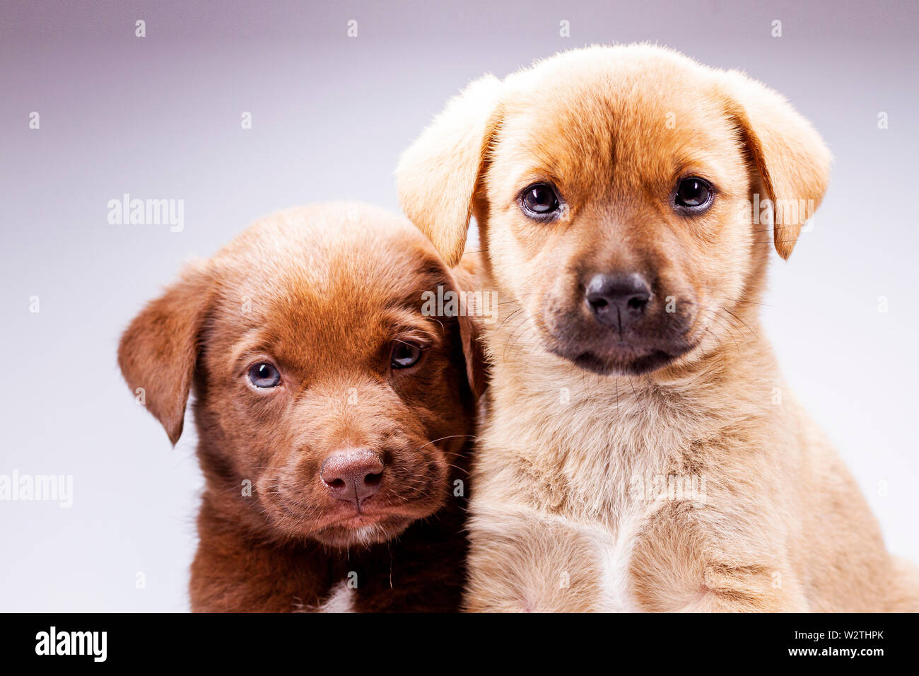 Two Cute Puppies On White Background Pets Stock Photo