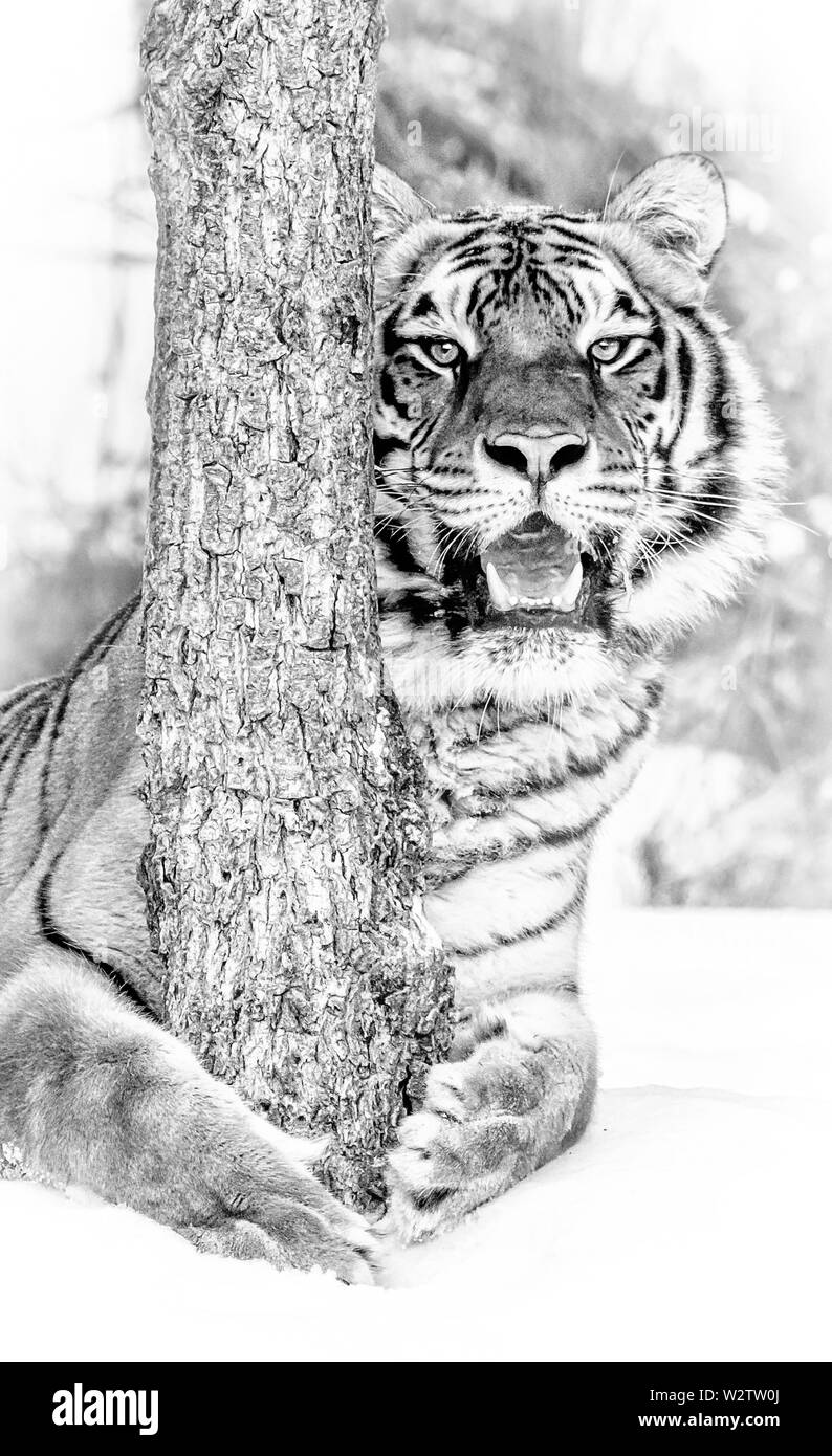 The Siberian tiger is the largest of the big cats and can weigh up to 670 pounds. In the wild their weight is usually as much as 500 pounds. - Stock Image