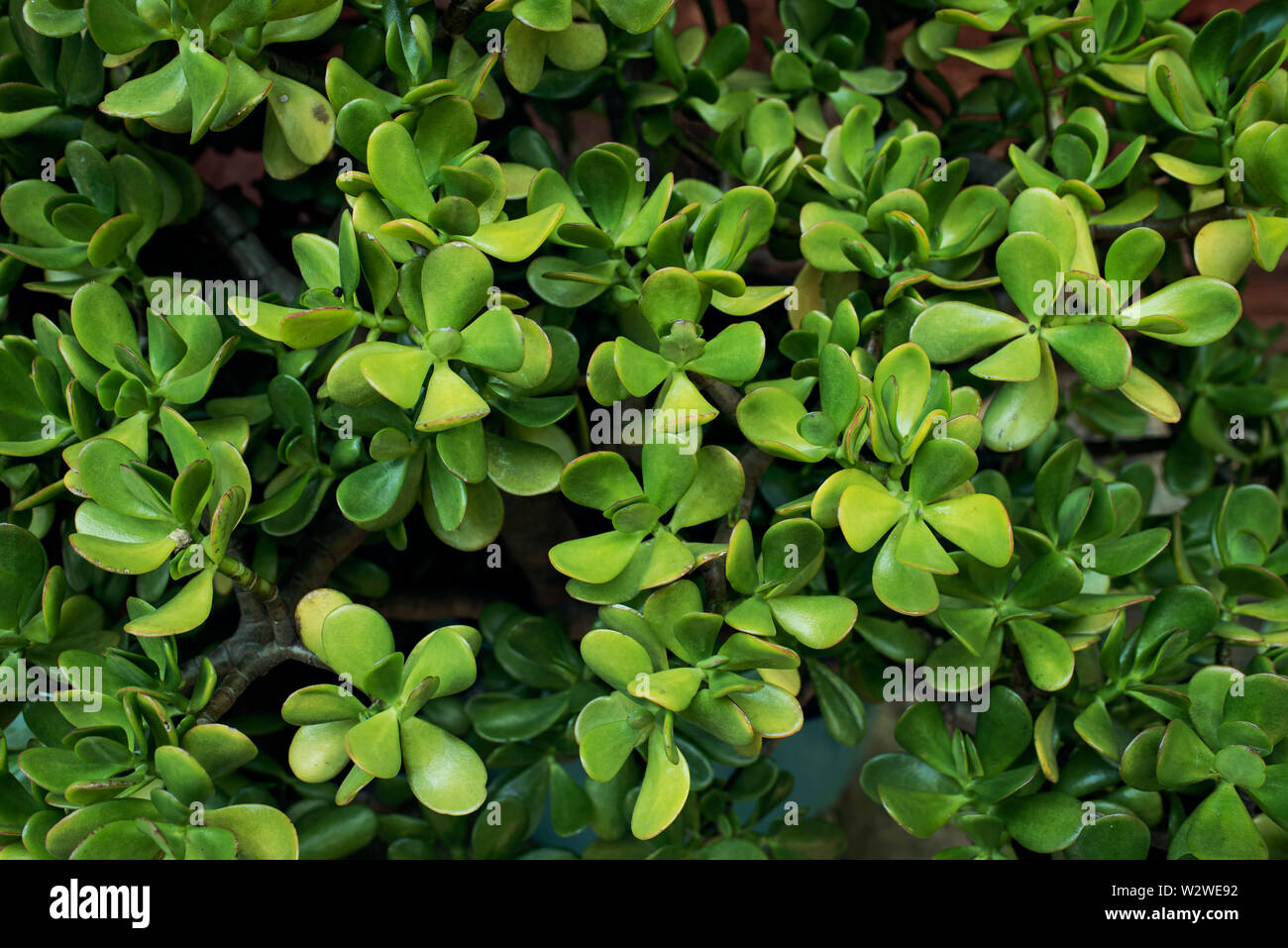 Money Tree Money Plant Jade Plant Is A Common Succulent Houseplant Worldwide Crassula Ovata Rf Close Up Wallpaper Seamless Texture Stock Photo Alamy