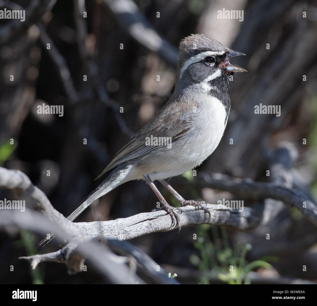 A striking black-throated sparrow (Amphispiza bilineata) or desert sparrow sings on a branch in Arizona - Stock Image