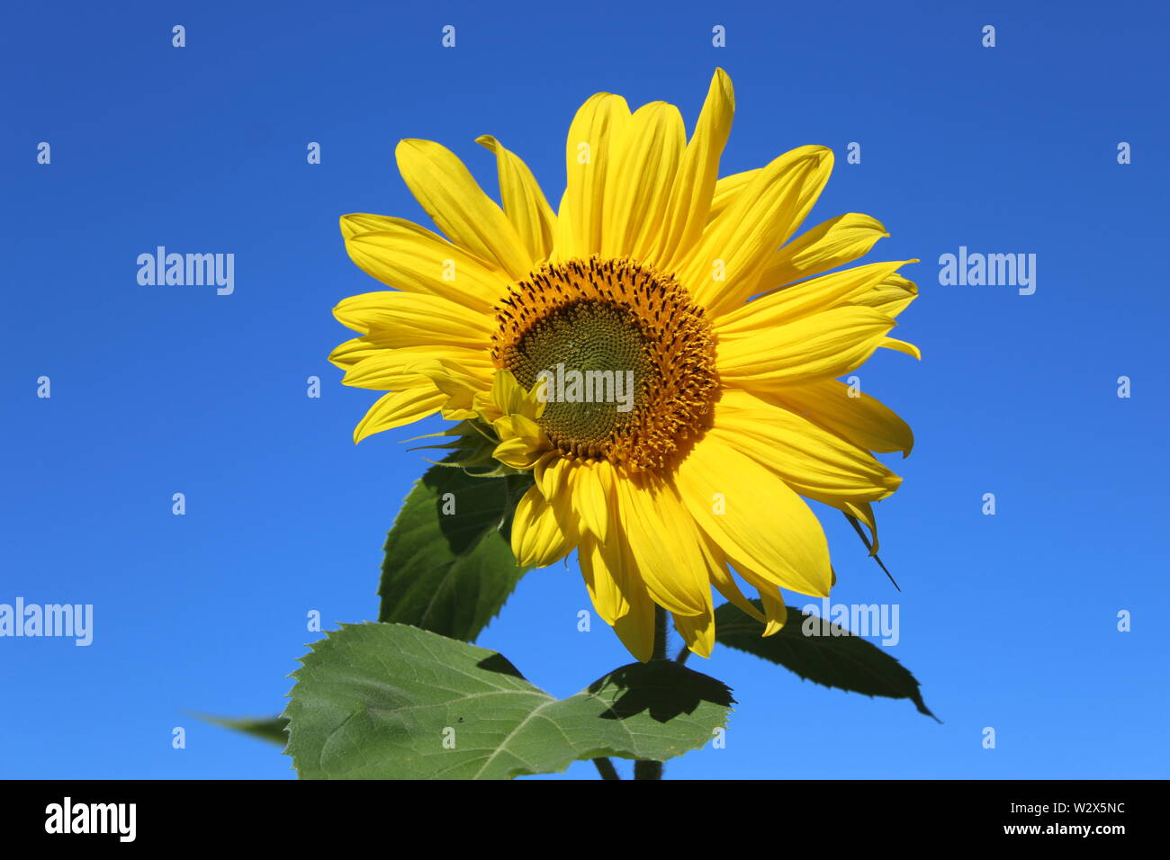 A sunflower against a cloudless blue sky - Stock Image