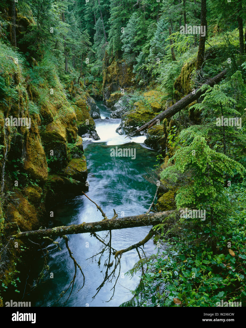 USA, Washington, Mt. Rainier National Park, Conifers cling to steep slopes above the Ohanepecosh River in Ohanepecosh Gorge. - Stock Image