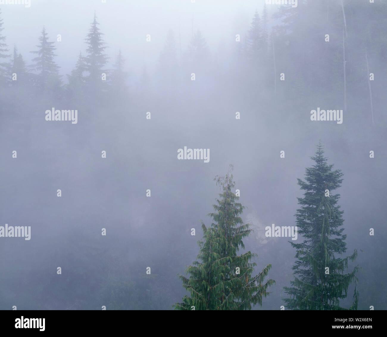 USA, Washington, Mt. Rainier National Park, Alaska yellow cedar and noble fir in fog at Stevens Canyon. - Stock Image
