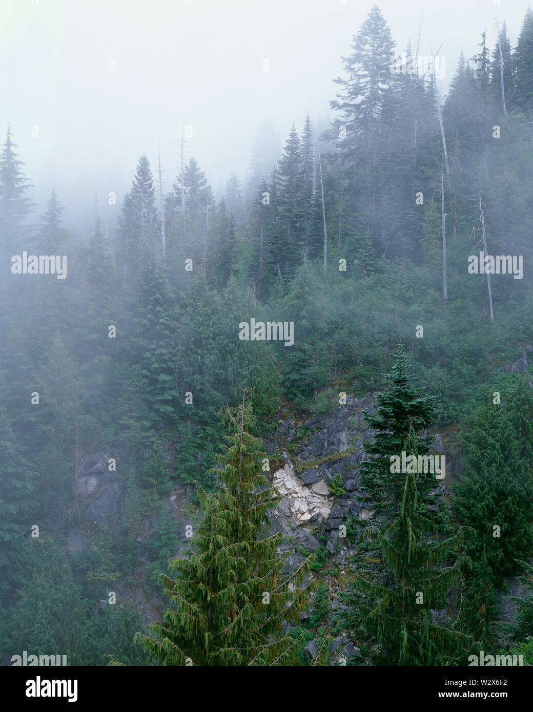 USA, Washington, Mt. Rainier National Park, Alaska yellow cedar and noble fir in foggy forest at Stevens Canyon. - Stock Image