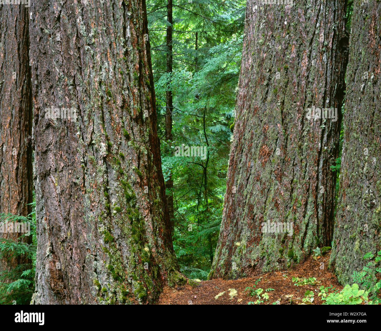 USA, Washington, Mt. Rainier National Park, Very large trunks of Douglas fir and spring flora in the Ohanepecosh Valley. - Stock Image