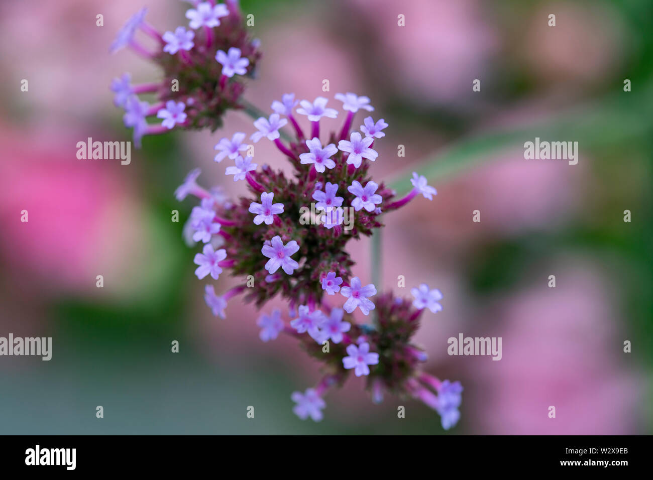 Vervain plant in blossom, Verbena Verbenaceae, shallow depth of the field - Stock Image