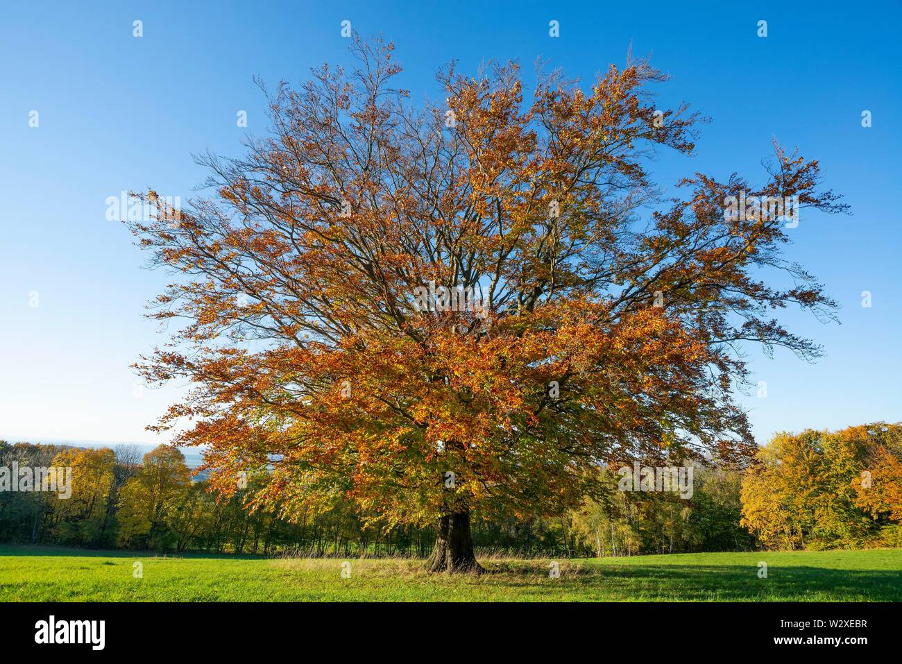 Common beech (Fagus sylvatica), autumnally discoloured, Hesse, Germany - Stock Image